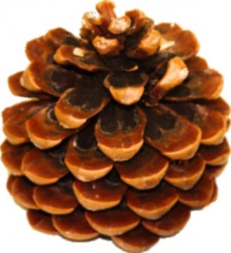 Pinea Zapfen mittel Natur lackiert (75 Stück)