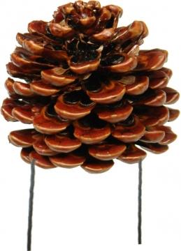 Pinea Zapfen mittel Natur am Draht gewachst  (50 Stück)