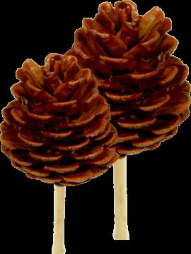 Halepensis Zapfen Natur am Stab gewachst (240 Stück)