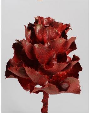 Hakea Victoria Medium in Rot (30 Stück)
