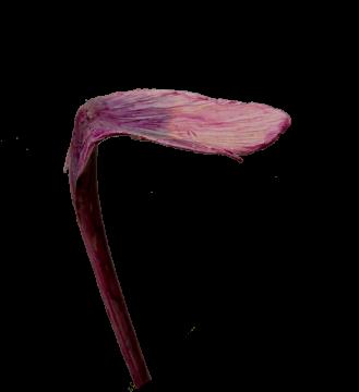 Shoehorn groß gewachst brombeer (120 Stück)