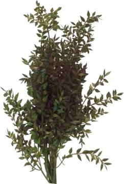 Ruskus Zweig gefärbt in Grün (10 Kg)