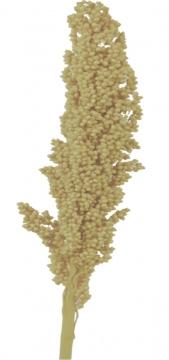 Indienkorn gebleicht (250 St