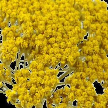 Schafgarbe Zweig 1+ in Gelb - 1kg