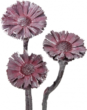 Protea geschnitten medium in Frosted Pink Erika (350 Stück)