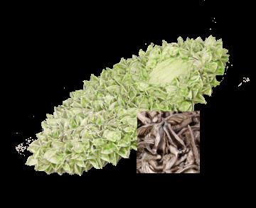 Baumwollfrucht Elipse gewachst in Mocca Grey ( ca. 40cm ) (6 Stück)