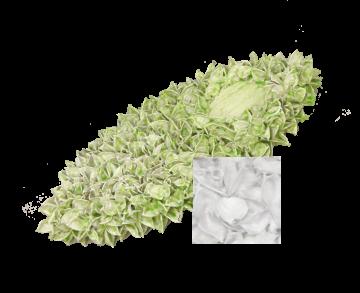 Baumwollfrucht Elipse gewachst Creme Weiß ( ca. 40cm ) (6 Stück)
