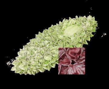Baumwollfrucht Elipse gewachst Rot Antik ( ca. 40cm ) (6 Stück)