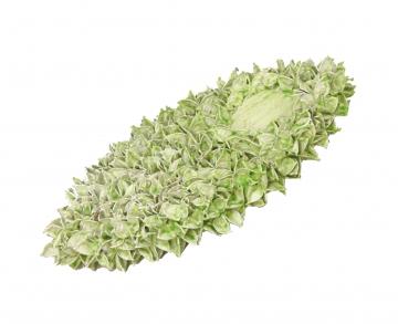 Baumwollfrucht Elipse gewachst in Grün Light ( ca. 40cm ) (6 Stück)