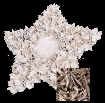 Baumwollfrucht Stern gewachst in Mocca Grey ( ca. 30cm ) (6 Stück)