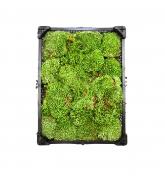 Ballenmoos / Buckelmoos / Polstermoos unbehandelt grün in einer [Kiste 40x30x12 cm]