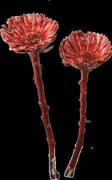 Compacta medium gewachst rot antik ( 50 Stück)