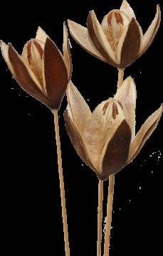 Wildlilie am Stiel in Natur  (50 Stück)