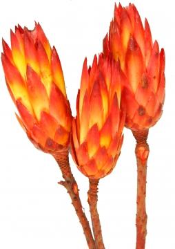 Protea Repens groß rot  1+ (50 Stück)