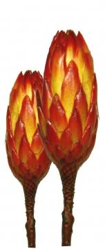 Protea Repens groß rot 1 in gelb gewachst (50 Stück)