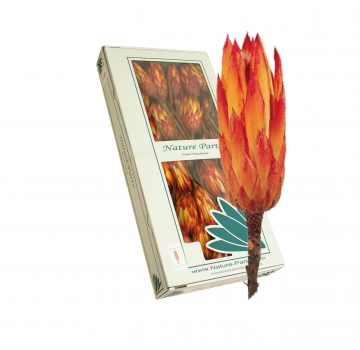 Protea Repens klein rot 1+  (50 Stück)