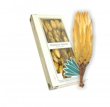 Protea Repens klein gold 1+ (50 Stück)