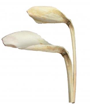 Shoehorn in Gebleicht Gr. 20x25cm (25 Stück)