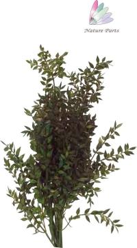 Ruskus Zweig gefärbt in Grün ( 250g )