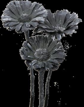 Protea geschnitten medium in Frosted Blackwashed (40 Stück)