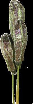 Mehogany am Stiel in Frosted Green (100 Stück)