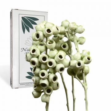 Eukalyptus Zweig mit Stiel gewachst in Grün Light ( 50 Stück )