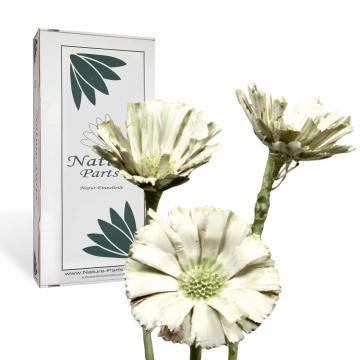 Protea geschnitten gewachst grün light (40 Stück)