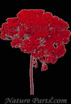 Schafgarbe Zweig 1+ in Rot  1kg