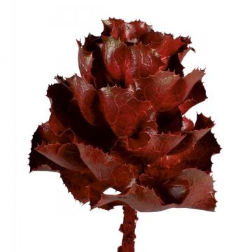 Hakea Victoria Ast Medium in Rot (30 Stück)
