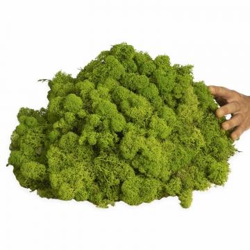 Moos•Moos Islandmoos präpariert und gefärbt ( lichtecht ) in Apfelgrün