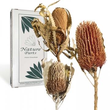 Banksia 3fach Mix mit Stiel  ( 12 Stück )