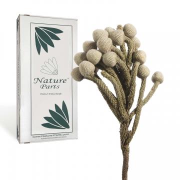 Brunia Extra mit Stiel in Natur ( 50 Stück )