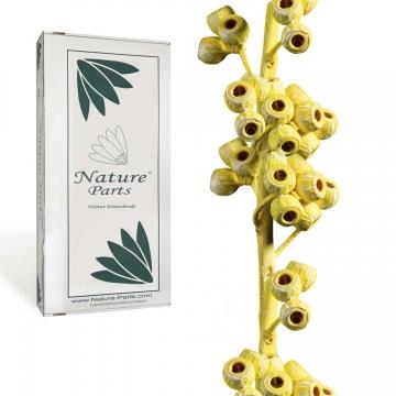 Eukalyptus Zweig mit Stiel in Yellowspring ( 50 Stück )