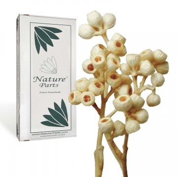 Eukalyptus Zweig in Gebleicht ( 50 Stück )