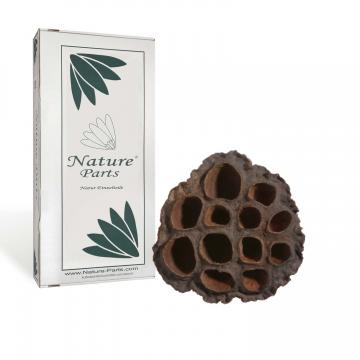 Lotus Kolben Mittel in Natur ( ca. 5-7cm - 150 Stück )