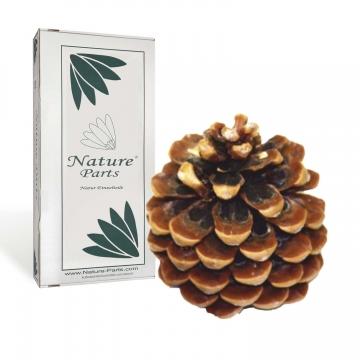 Pinea Zapfen Mittel Natur ( 15 Stück )