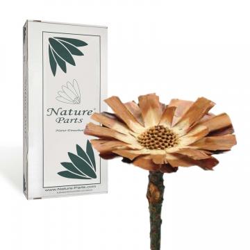 Protea geschnitten Medium in Natur ( 40 Stück )