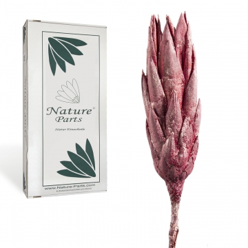 Protea Repens Groß in Frosted Blackberry ( 50 Stück )