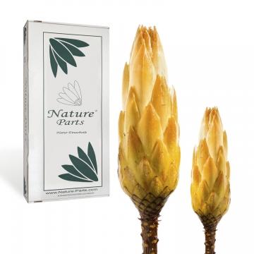 Protea Repens Groß Gold-Gelb gewachst 1+ ( 50 Stück )