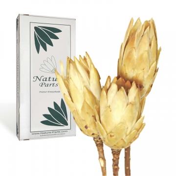 Protea Repens Groß Gold 1+ ( 50 Stück )