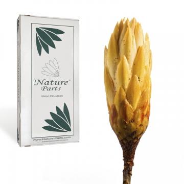 Protea Repens Klein Gold - Gelb 1. Wahl ( 50 Stück )