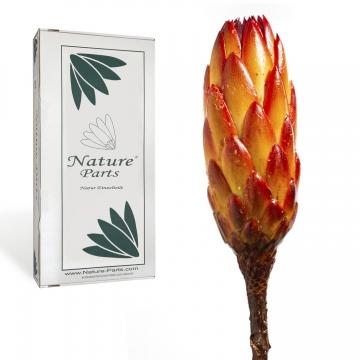 Protea Repens Groß Rot - Gelb gewachst ( 50 Stück )