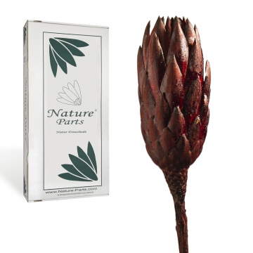 Protea Repens Groß Red - Black 1. Wahl ( 50 Stück )