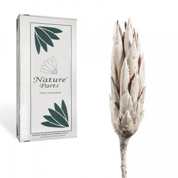 Protea Repens Klein Whitewashed 1+ ( 50 Stück )