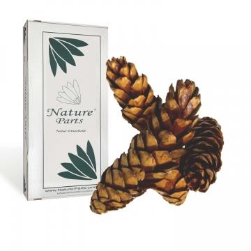 Strobus Zapfen Natur lackiert ( Ø 15-20cm - 40 Stück )