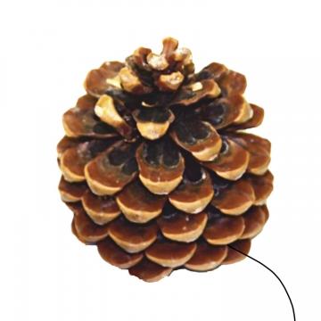 Pinea Zapfen Mittel Natur am Draht (100 Stück)