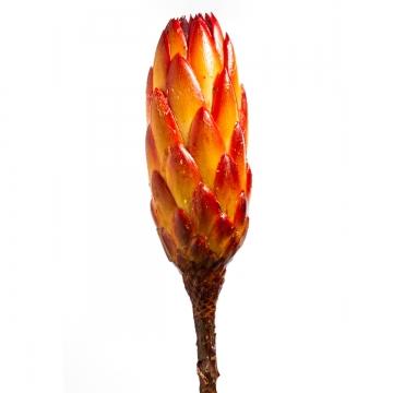 Protea Repens groß rot / gelb gewachst 1+ (350 Stück)