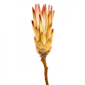 Compacta Flower Pink mit Stiel