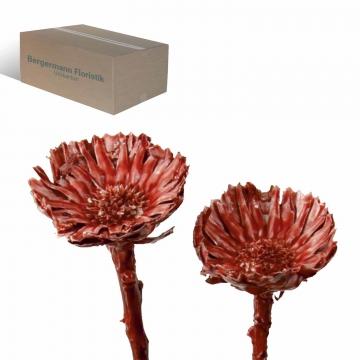 Compacta Rosette Medium (4-6cm) gewachst Rot Antik (600 Stück)