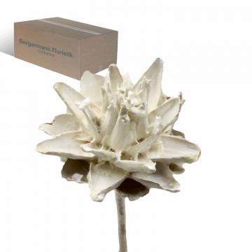 Leukospernum mit Stiel gewachst in Creme Weiß (600 Stück)